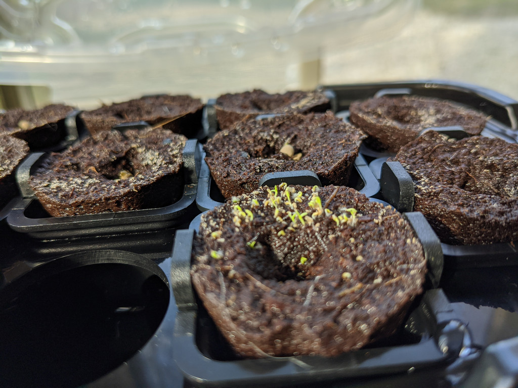 Day 3 - Chamomile Sprouts